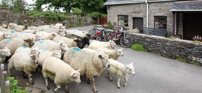 Flock of sheep passing Bwthyn y Saer